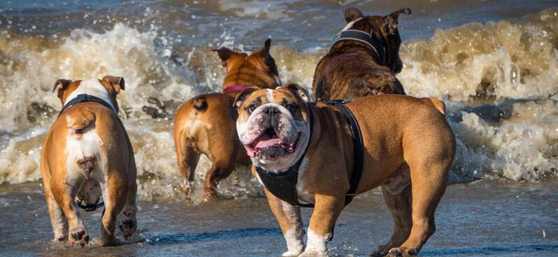 english-bulldogs-playing-in-water