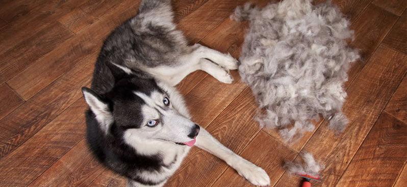 seberian-husky-sitting-besides-shedded-fur
