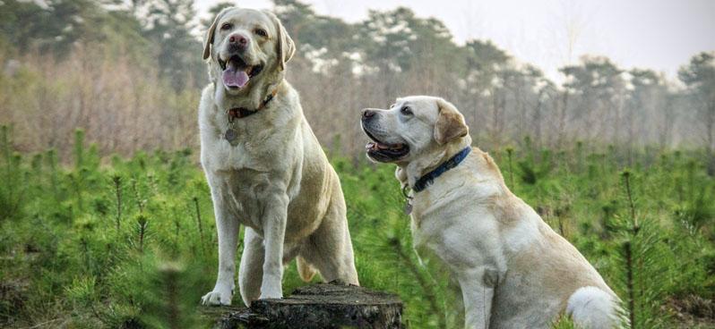 two-labradors-in-bush