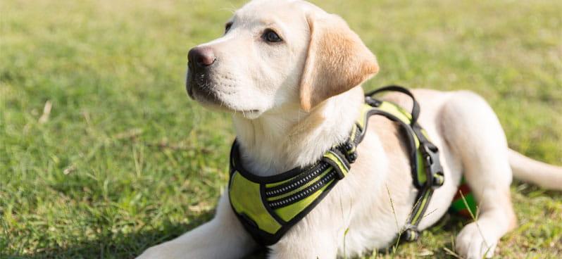 labrador-puppy-on-the-grass