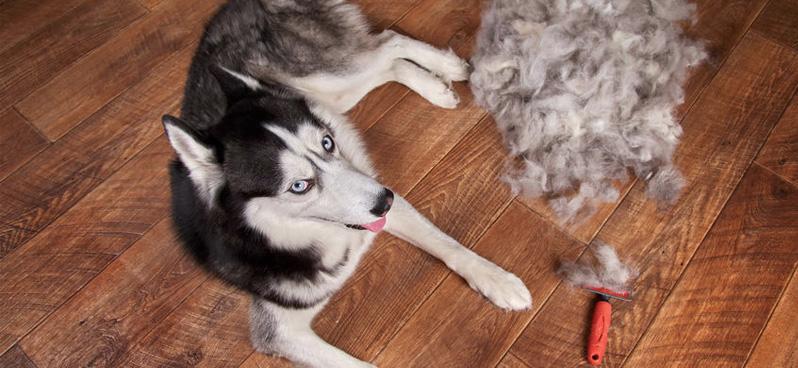 husky-besides-brushed-fur-pile